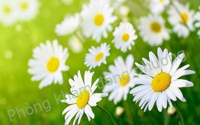 Cách trị mụn trứng cá nhanh nhất bằng hoa cúc trắng