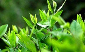 Cách trị nấm móng tay bằng lá trà