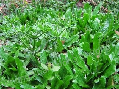Muôn kiểu trị dị ứng da từ cây gia vị vườn nhà